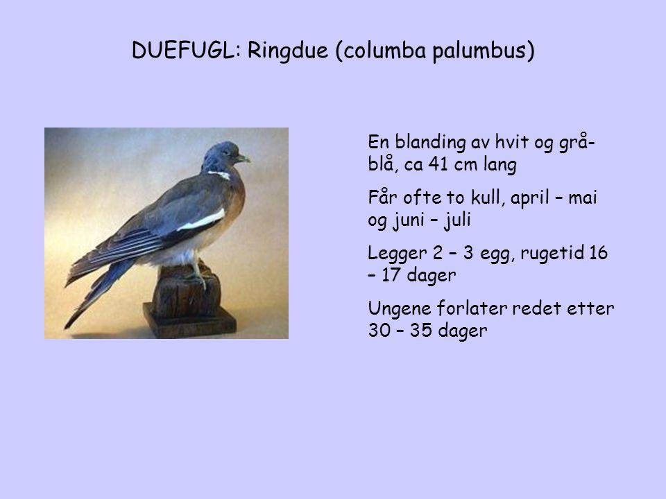 DUEFUGL: Ringdue (columba palumbus)