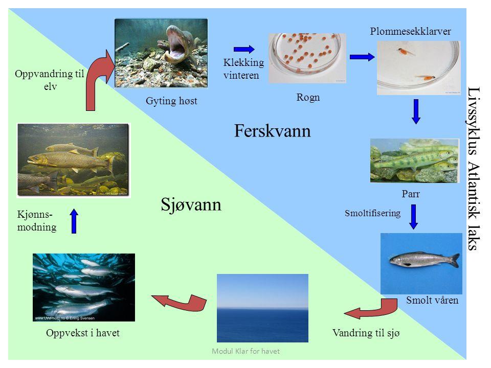 Ferskvann Sjøvann Livssyklus Atlantisk laks Plommesekklarver Klekking