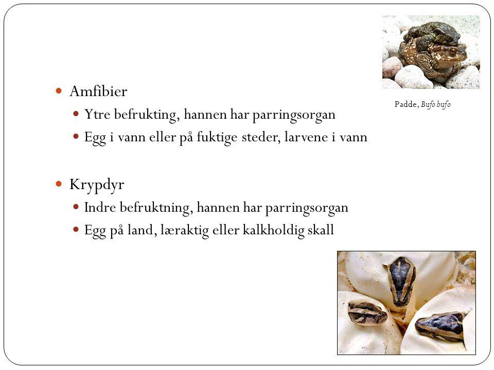 Amfibier Krypdyr Ytre befrukting, hannen har parringsorgan