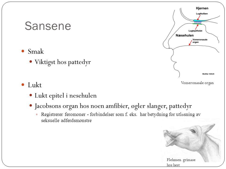 Sansene Smak Lukt Viktigst hos pattedyr Lukt epitel i nesehulen