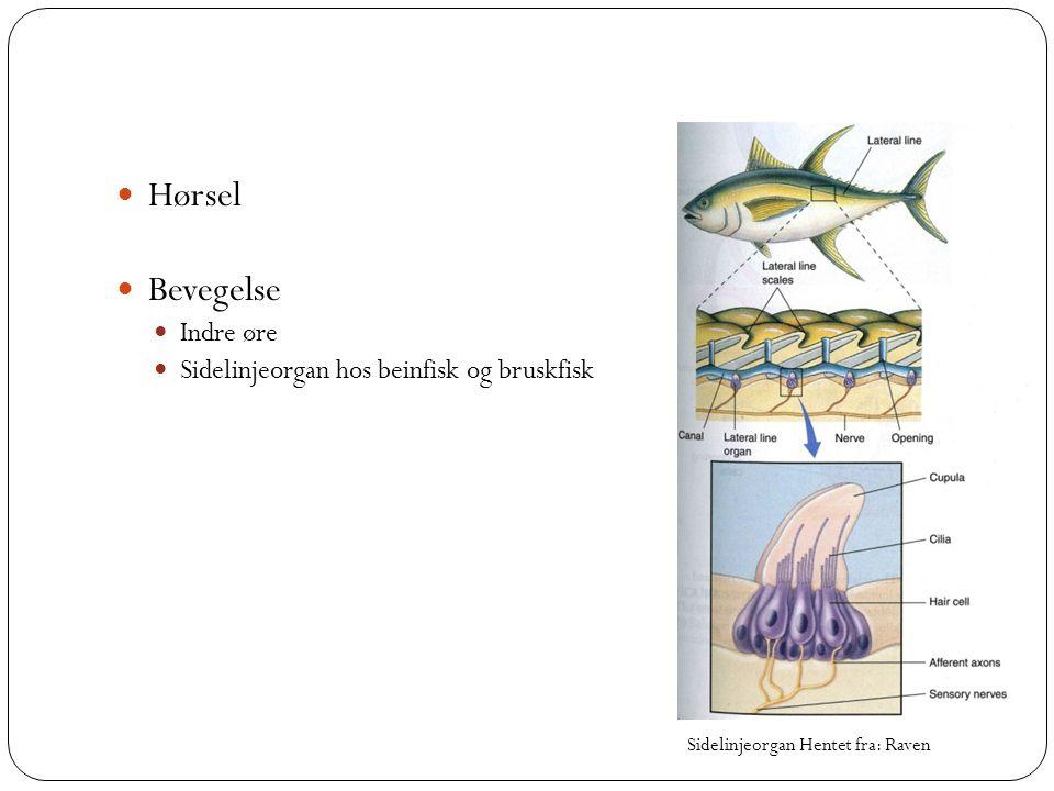 Hørsel Bevegelse Indre øre Sidelinjeorgan hos beinfisk og bruskfisk