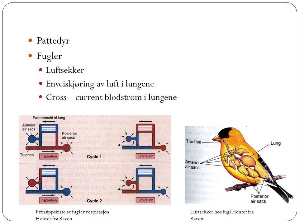 Pattedyr Fugler Luftsekker Enveiskjøring av luft i lungene