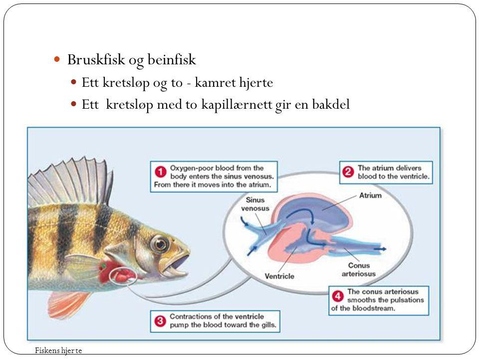 Bruskfisk og beinfisk Ett kretsløp og to - kamret hjerte