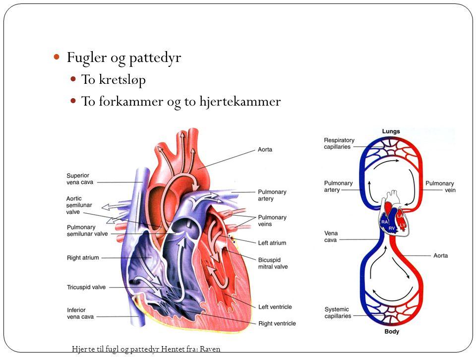 Fugler og pattedyr To kretsløp To forkammer og to hjertekammer