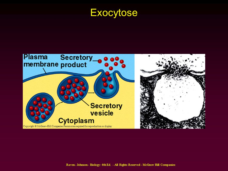Exocytose Copyright © McGraw-Hill Companies Permission required for reproduction or display.