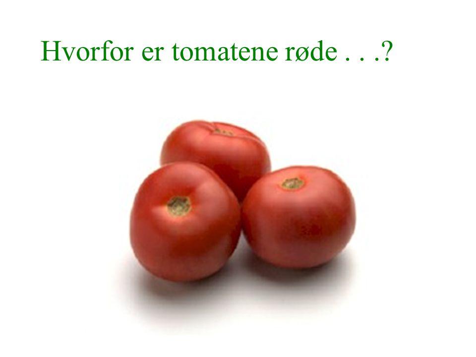 Hvorfor er tomatene røde . . .