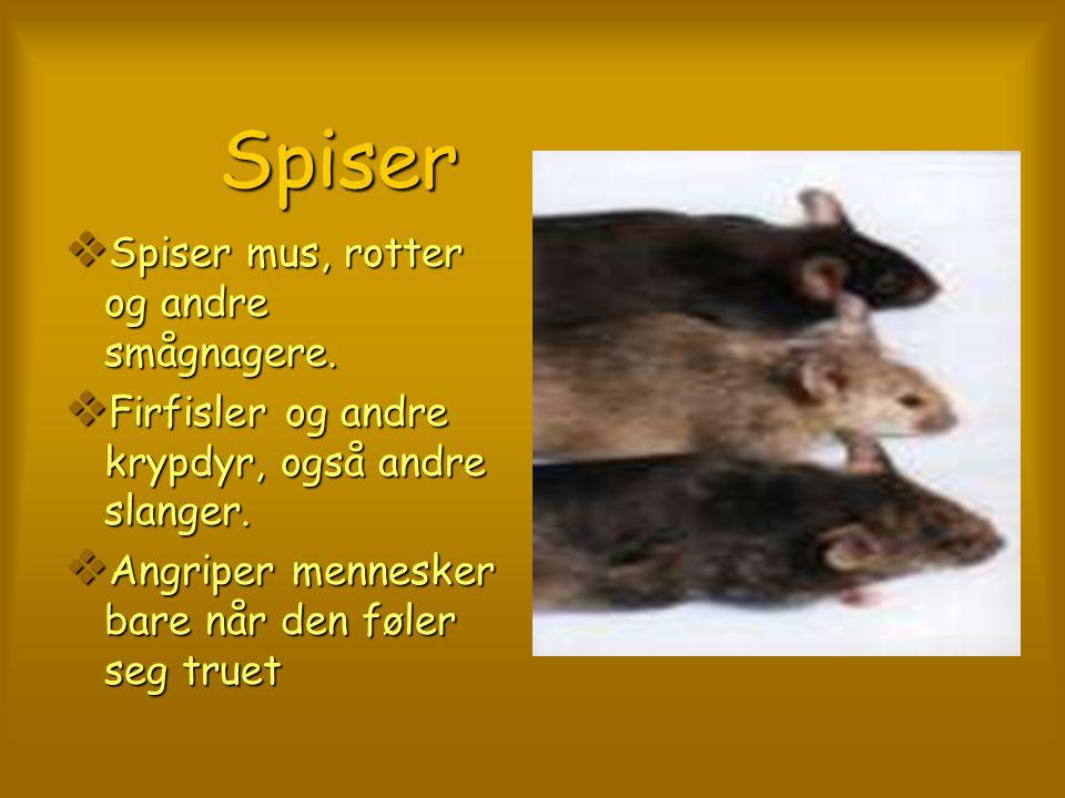 Spiser Spiser mus, rotter og andre smågnagere.