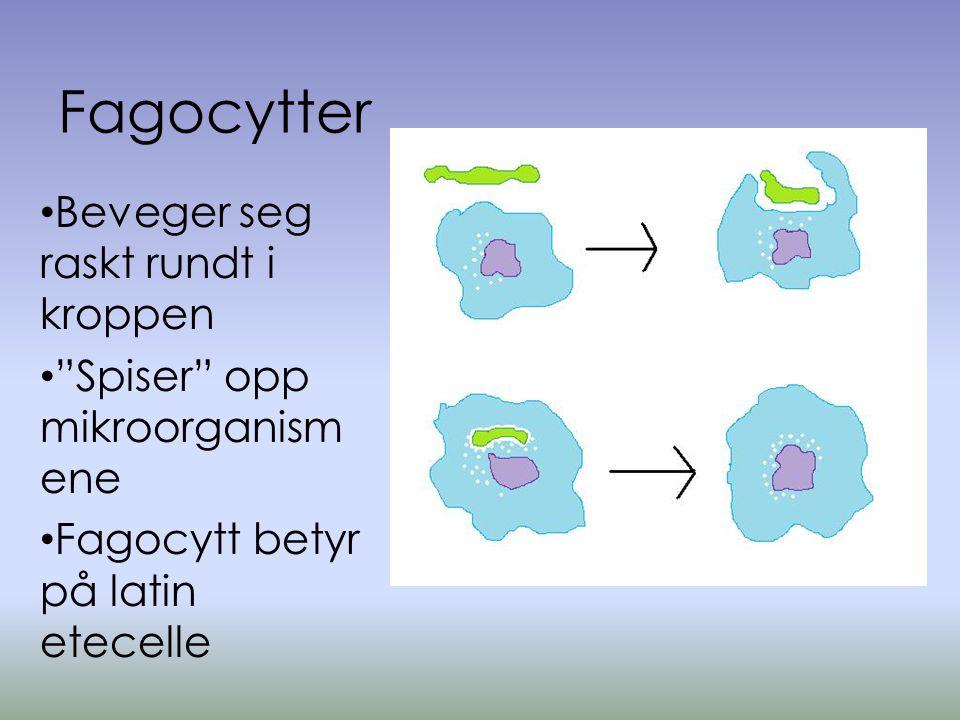 Fagocytter Beveger seg raskt rundt i kroppen