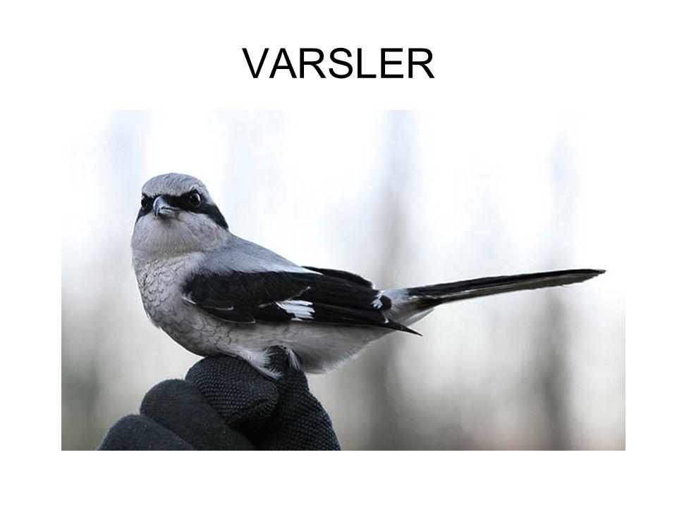 VARSLER