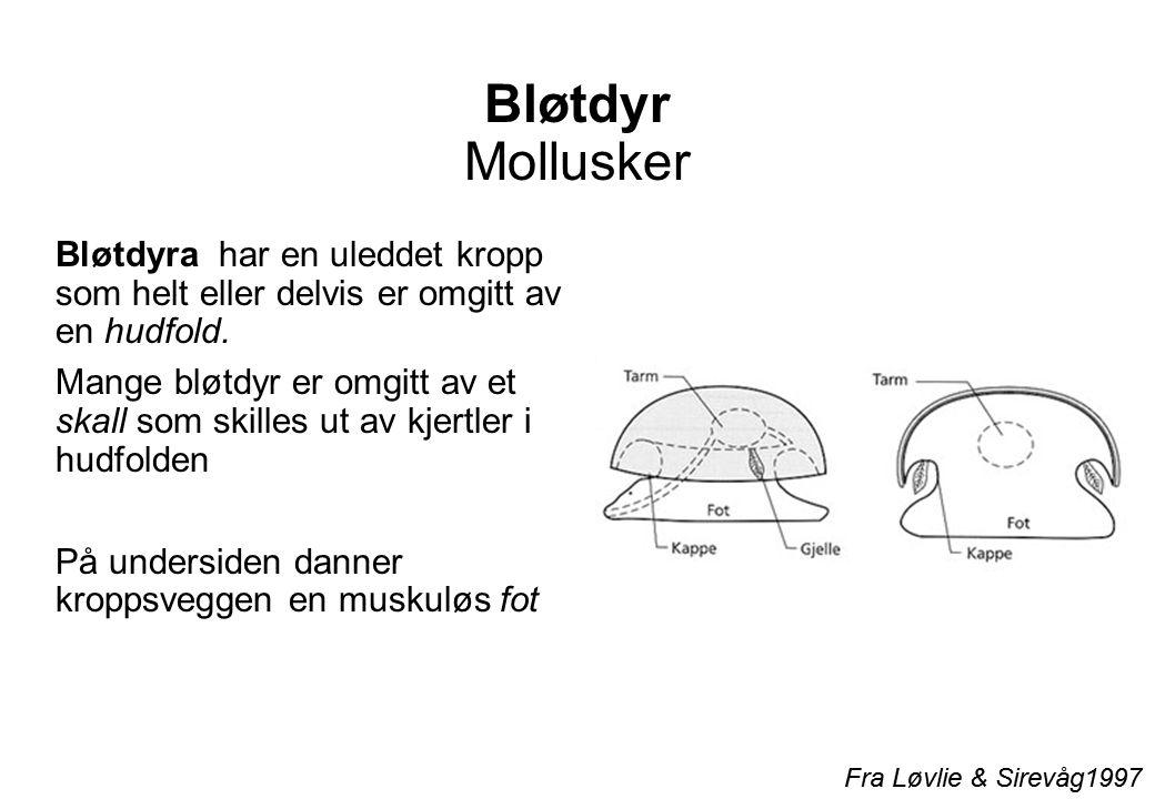 Bløtdyr Mollusker Bløtdyra har en uleddet kropp som helt eller delvis er omgitt av en hudfold.