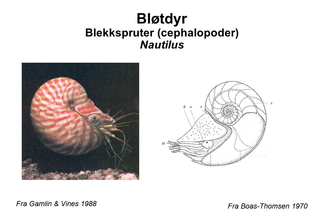 Bløtdyr Blekkspruter (cephalopoder) Nautilus