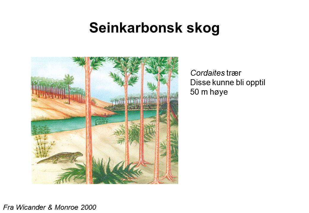 Seinkarbonsk skog Cordaites trær Disse kunne bli opptil 50 m høye