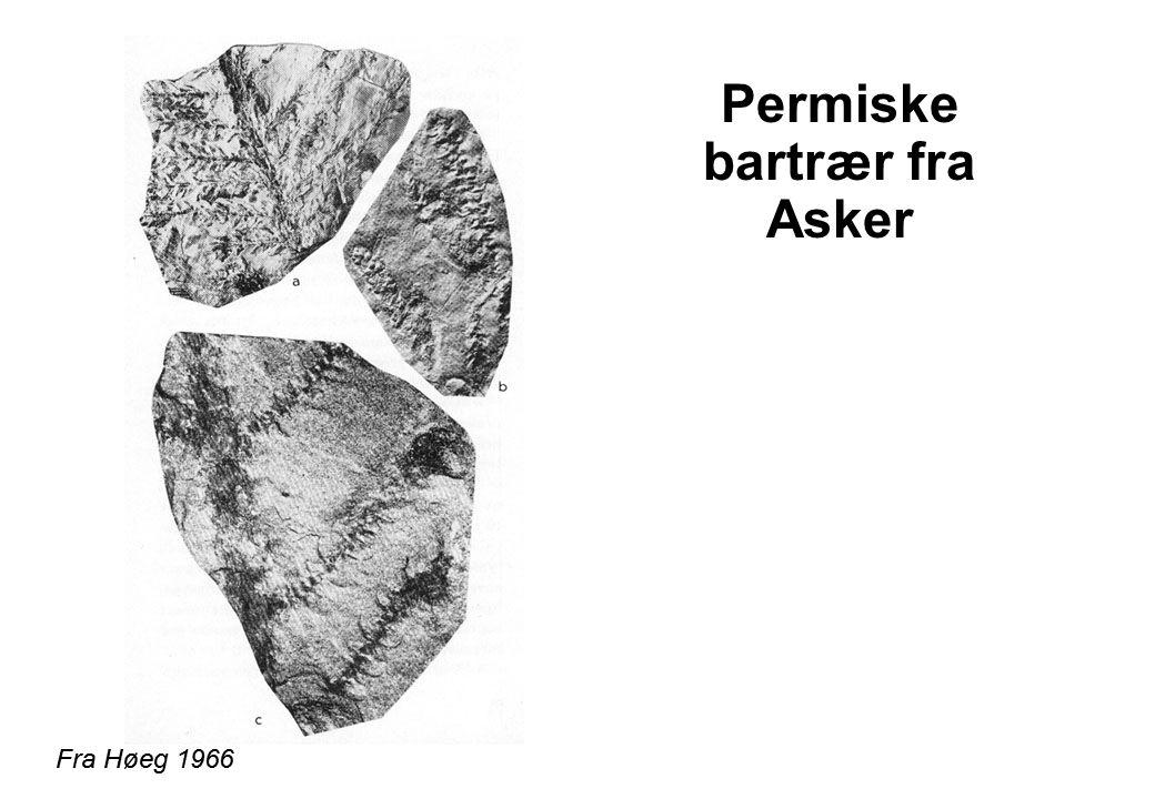 Permiske bartrær fra Asker