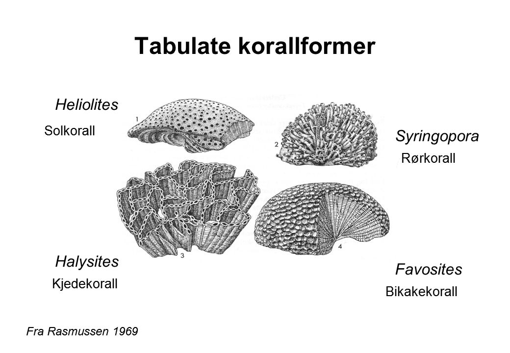 Tabulate korallformer