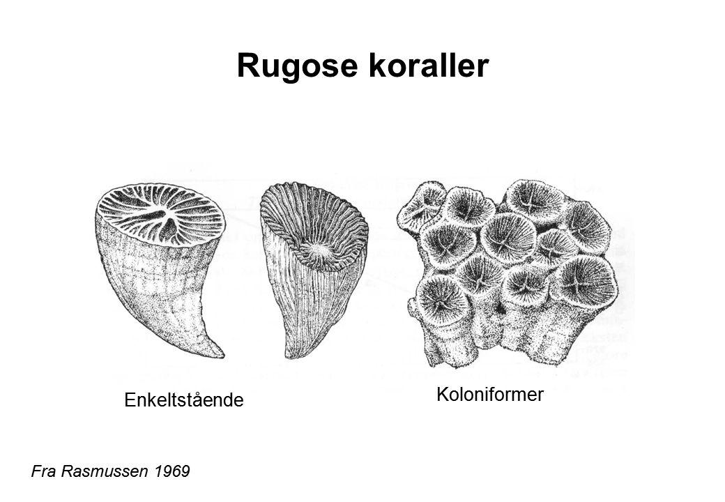 Rugose koraller Koloniformer Enkeltstående Fra Rasmussen 1969