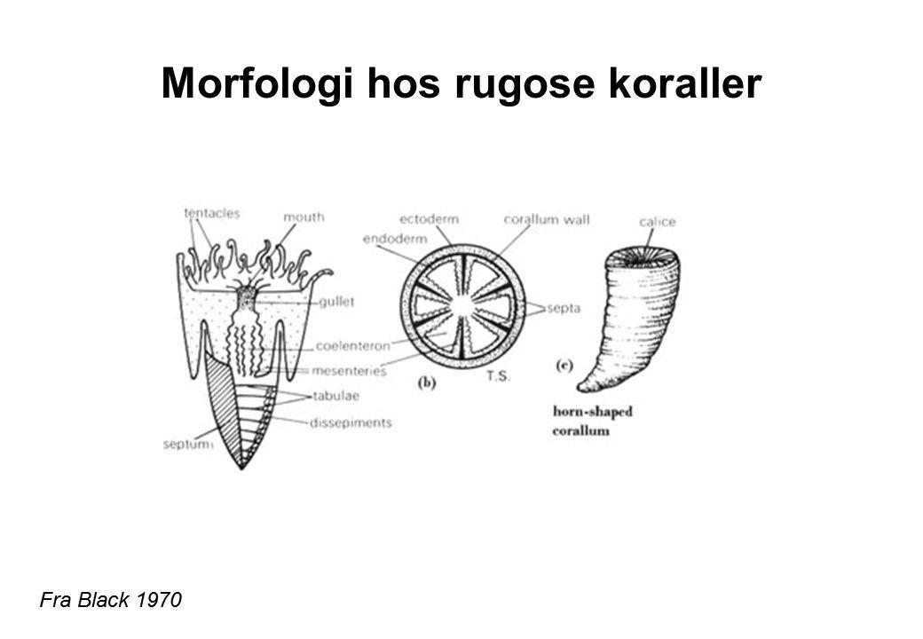 Morfologi hos rugose koraller