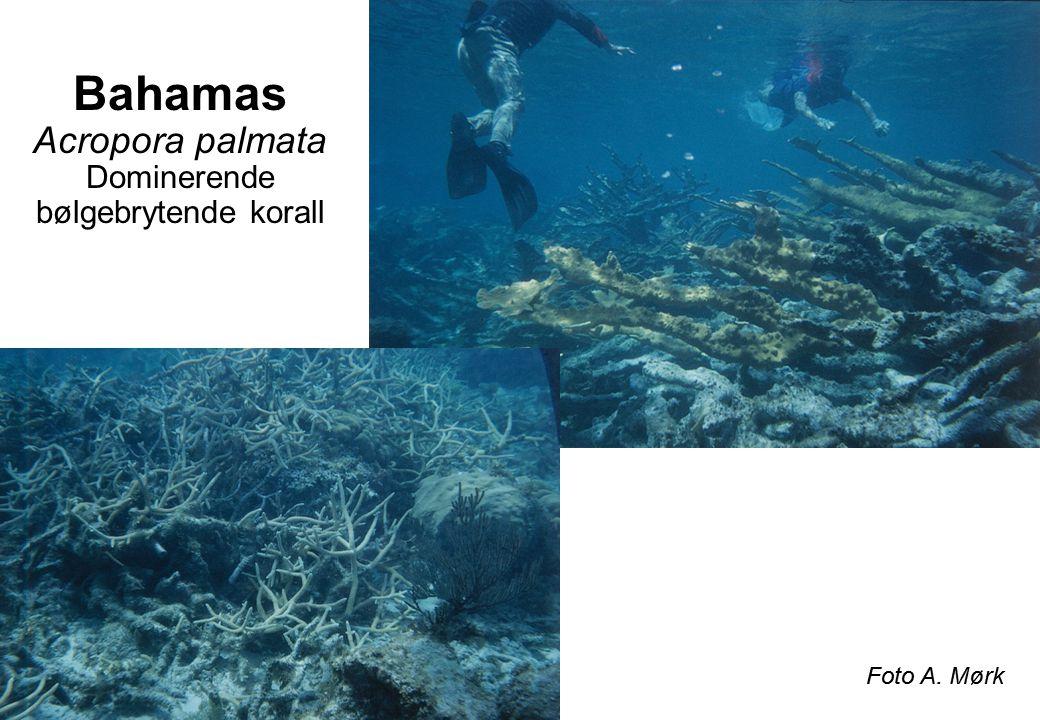 Bahamas Acropora palmata Dominerende bølgebrytende korall