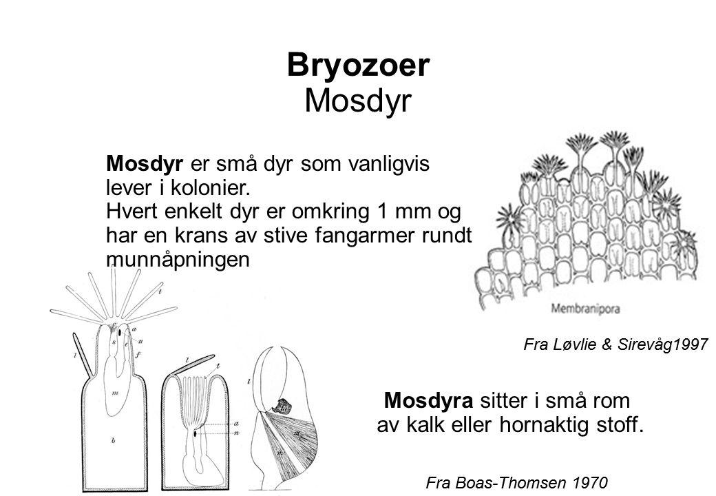 Mosdyra sitter i små rom av kalk eller hornaktig stoff.