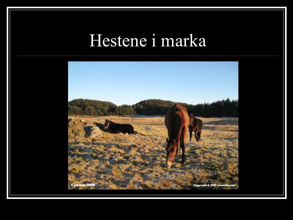 Hestene i marka 1.januar 2008 Copyright ® 2007 arneeide.com