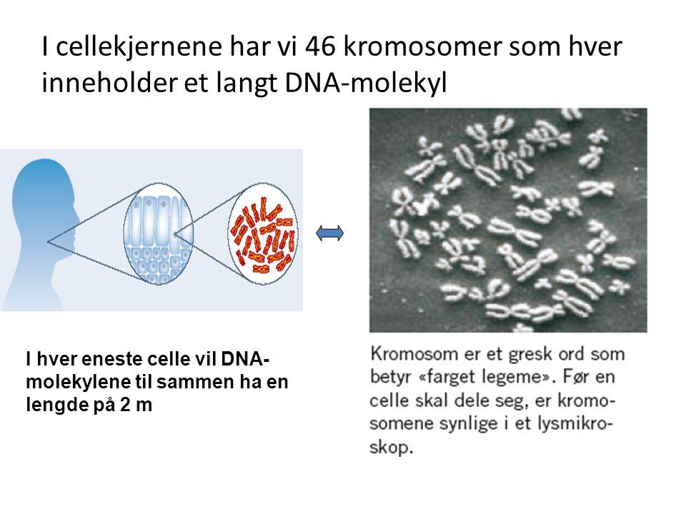 I cellekjernene har vi 46 kromosomer som hver inneholder et langt DNA-molekyl