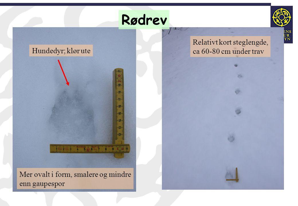 Rødrev Relativt kort steglengde, ca 60-80 cm under trav