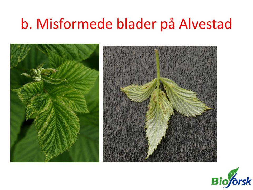 b. Misformede blader på Alvestad