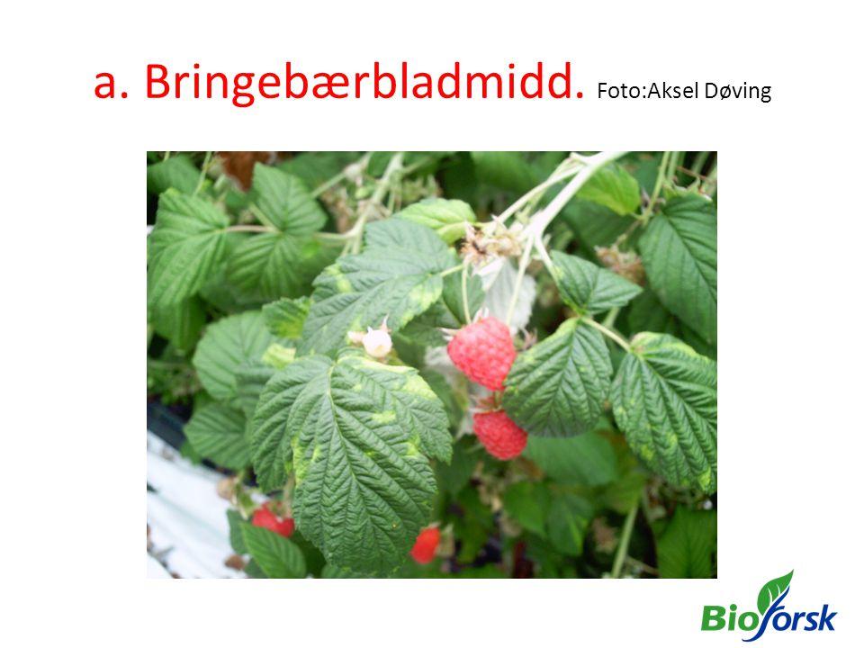 a. Bringebærbladmidd. Foto:Aksel Døving