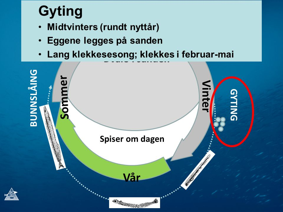 Gyting Høst Sommer Vinter Vår Dvale i sanden BUNNSLÅING GYTING