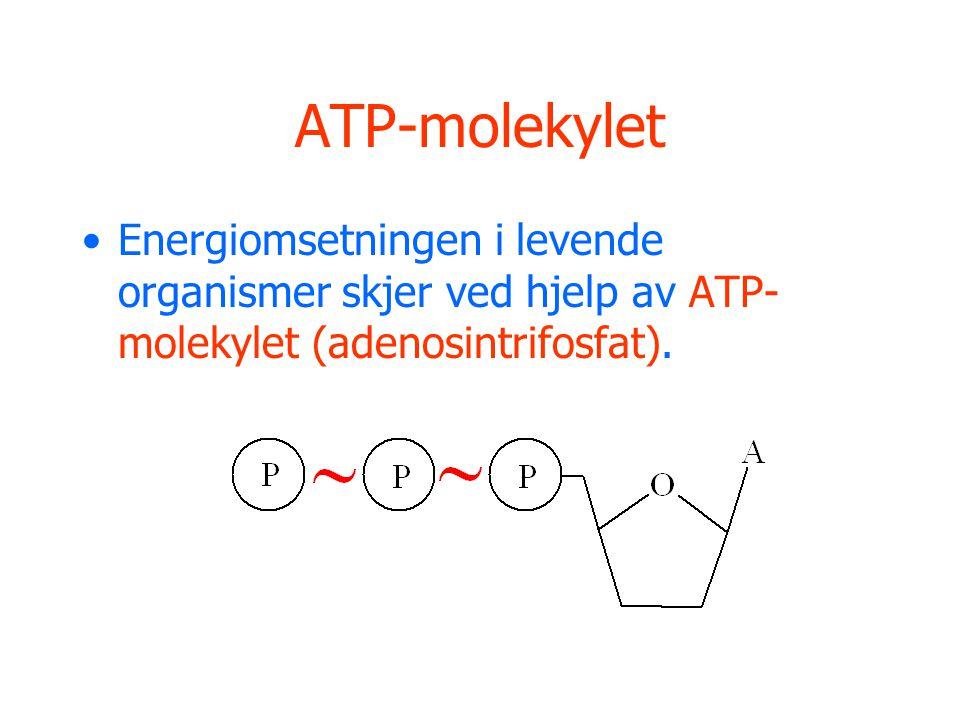 ATP-molekylet Energiomsetningen i levende organismer skjer ved hjelp av ATP-molekylet (adenosintrifosfat).