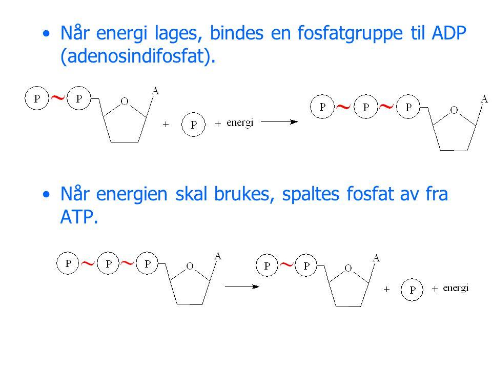 Når energi lages, bindes en fosfatgruppe til ADP (adenosindifosfat).