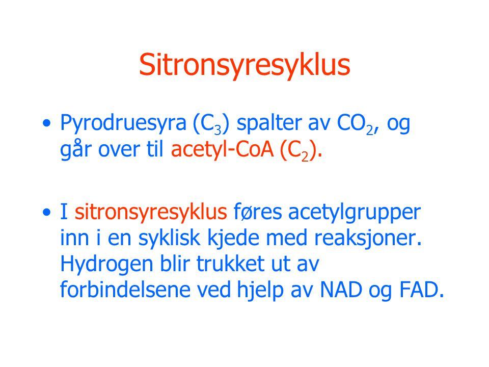 Sitronsyresyklus Pyrodruesyra (C3) spalter av CO2, og går over til acetyl-CoA (C2).