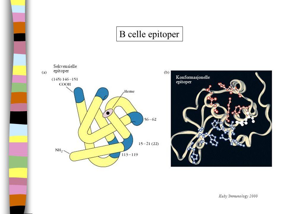 B celle epitoper Sekvensielle epitoper Konformasjonelle epitoper (b)