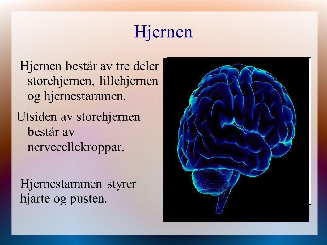 Hjernen Hjernen består av tre deler storehjernen, lillehjernen og hjernestammen. Utsiden av storehjernen består av nervecellekroppar.