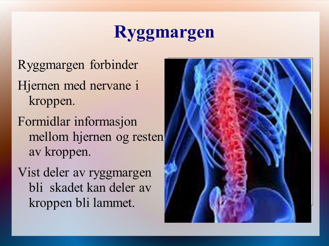 Ryggmargen Ryggmargen forbinder Hjernen med nervane i kroppen.