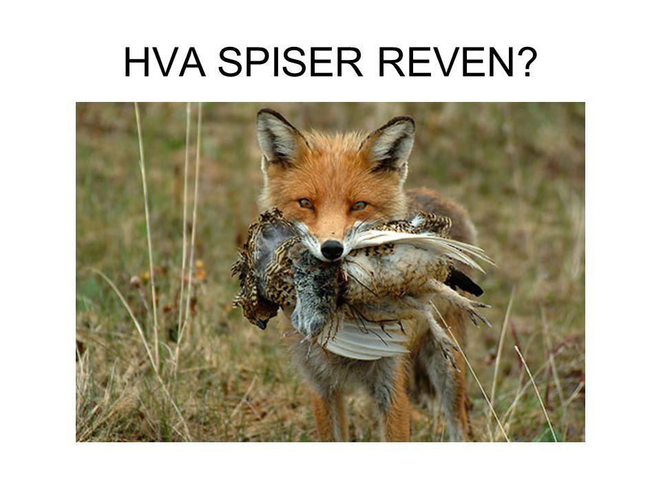 HVA SPISER REVEN