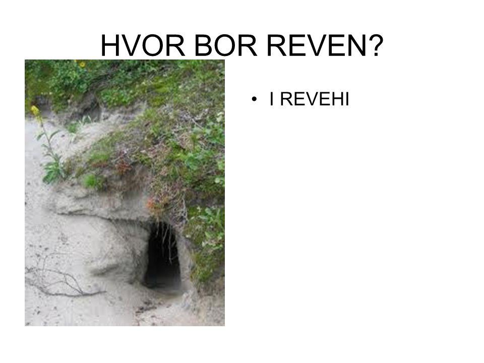 HVOR BOR REVEN I REVEHI