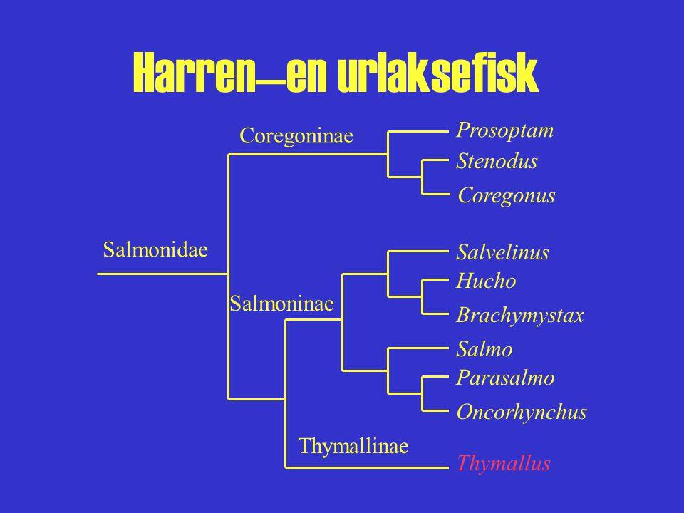 Harren—en urlaksefisk