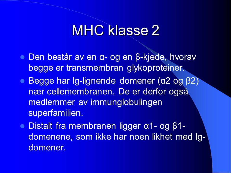 MHC klasse 2 Den består av en α- og en β-kjede, hvorav begge er transmembran glykoproteiner.