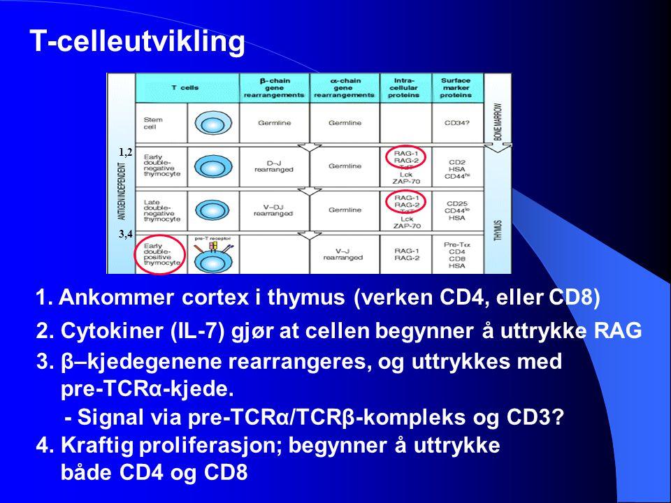 T-celleutvikling 1. Ankommer cortex i thymus (verken CD4, eller CD8)