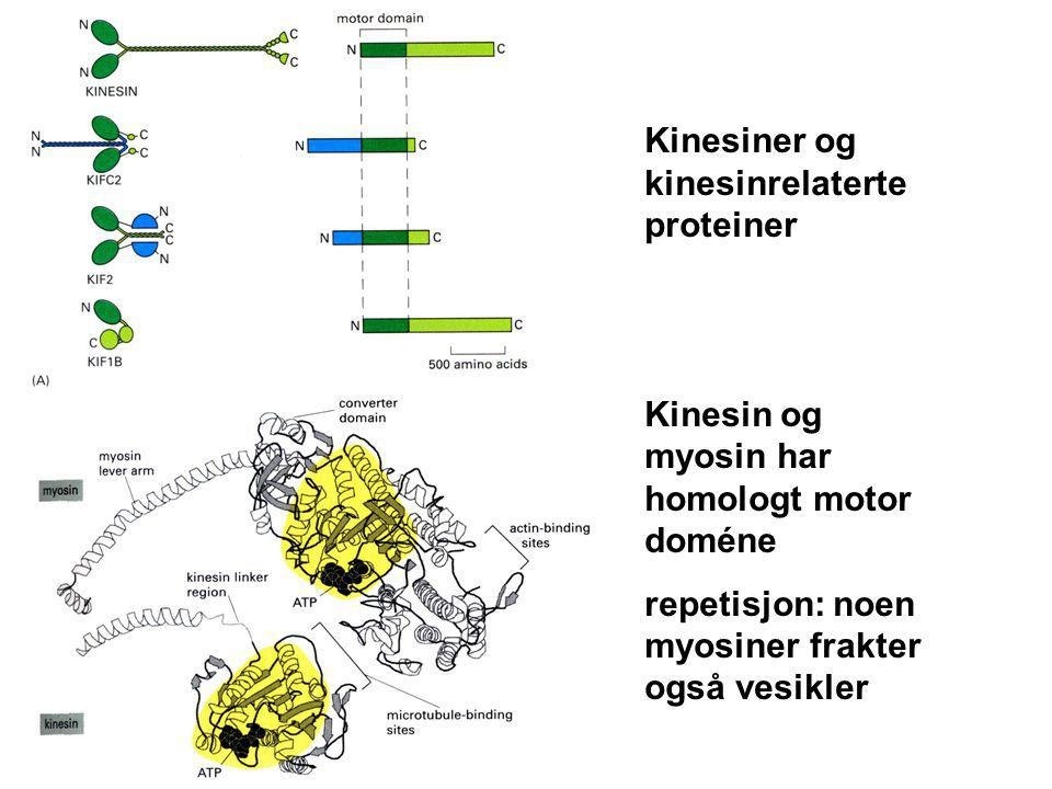Kinesiner og kinesinrelaterte proteiner