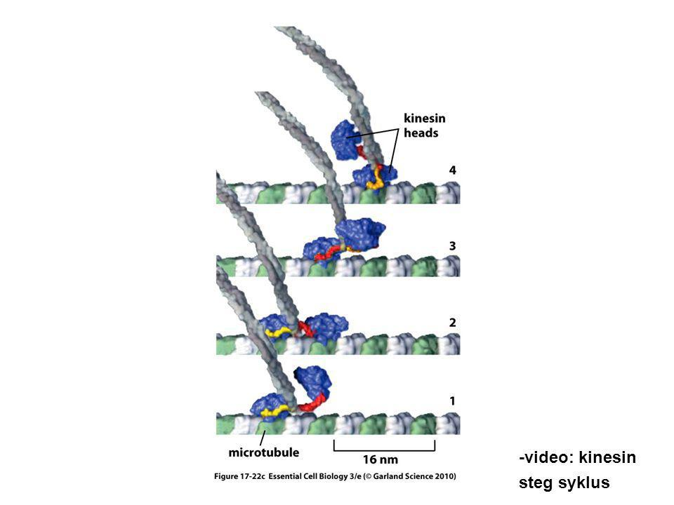 -video: kinesin steg syklus