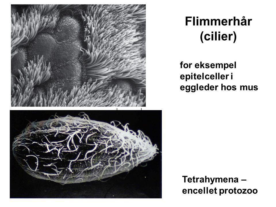 Flimmerhår (cilier) for eksempel epitelceller i eggleder hos mus