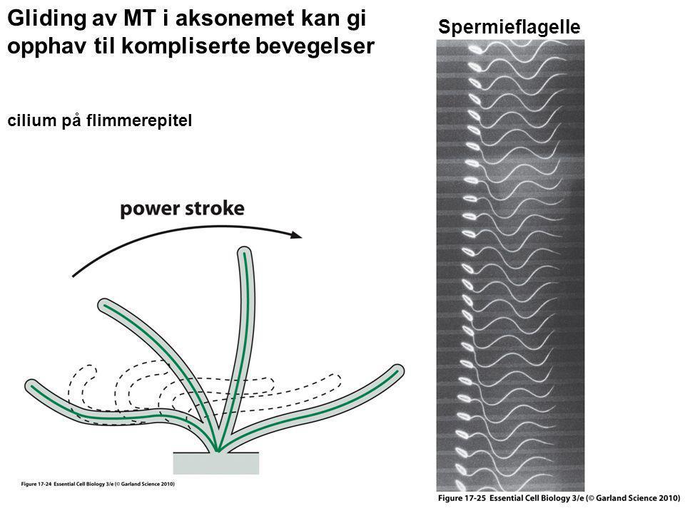 Gliding av MT i aksonemet kan gi opphav til kompliserte bevegelser