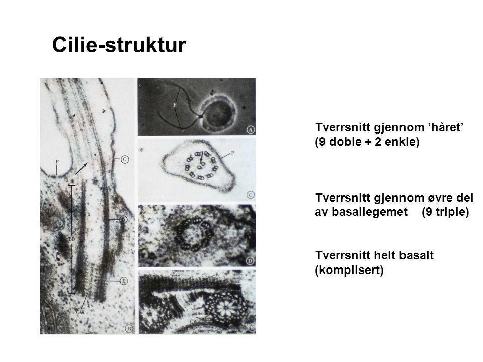 Cilie-struktur Tverrsnitt gjennom 'håret' (9 doble + 2 enkle)