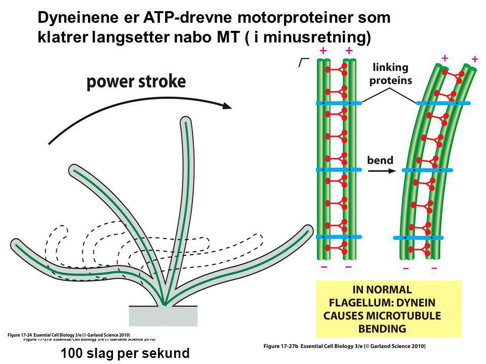 Dyneinene er ATP-drevne motorproteiner som klatrer langsetter nabo MT ( i minusretning)