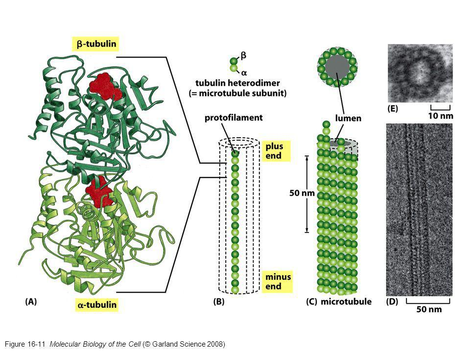 Figure 16-11 Molecular Biology of the Cell (© Garland Science 2008)