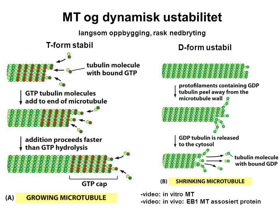 MT og dynamisk ustabilitet langsom oppbygging, rask nedbryting