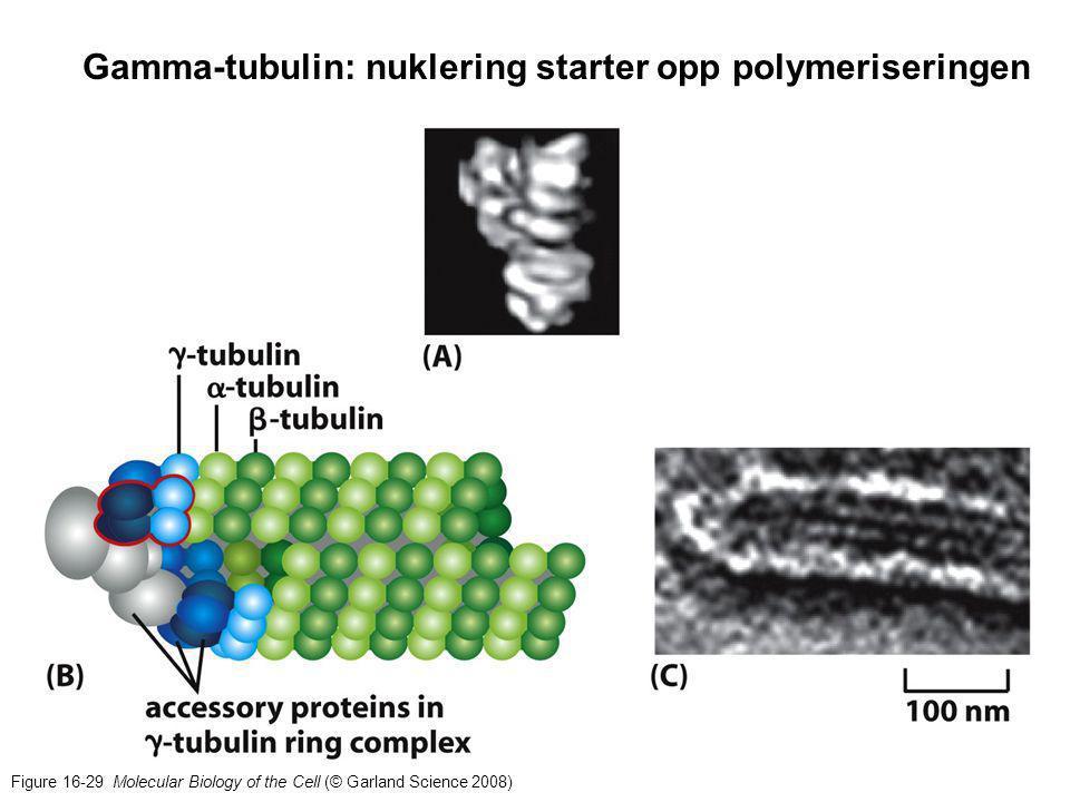 Gamma-tubulin: nuklering starter opp polymeriseringen