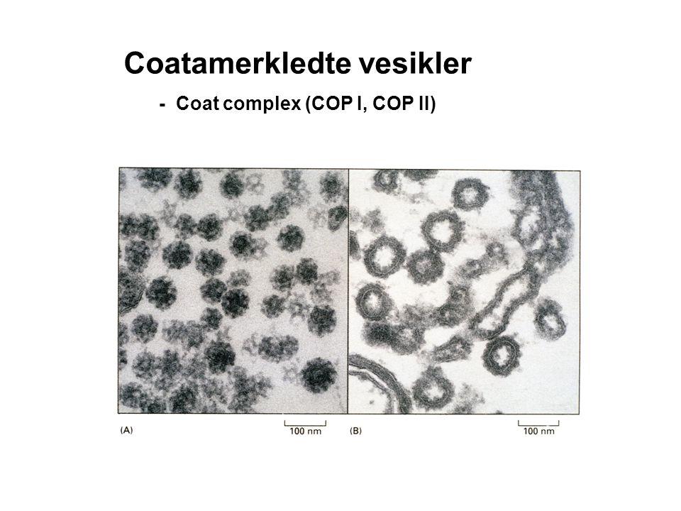 Coatamerkledte vesikler - Coat complex (COP I, COP II)