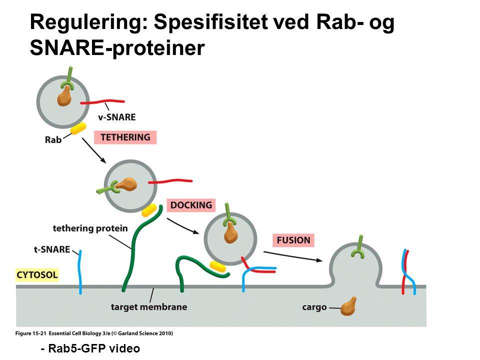 Regulering: Spesifisitet ved Rab- og SNARE-proteiner
